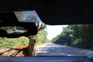 Deer Accident
